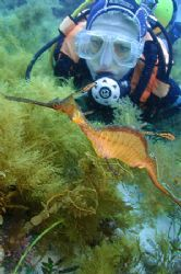 The other variety of Sea-Dragon, the Weedy Sea-Dragon. No... by Brian Mayes 